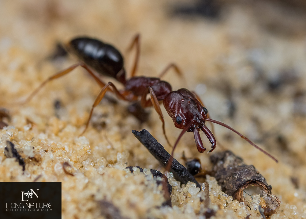 Odontomachus relictus - Florida Scrub Snapping Ant. Photographed at Citrus Wildlife Management Area, Brooksville sand ridge, Florida USA.  In long leaf pine and sand habitat.