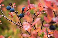 Detail of European blueberry bush in Autumn, Norway