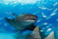 Nurse Sharks, blurred <br /> <br /> Shot in Bimini, Bahamas
