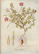 Woodsorrel (Oxalis rubella). Illustration from 'Oxalis Monographia iconibus illustrata' by Nikolaus Joseph Jacquin (1797-1798). published 1794