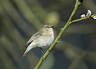 Chiffchaff Phylloscopus collybita L 11cm. Tiny warbler, best known for its onomatopoeic song. Sexes are similar. Adult and juvenile have grey-brown upperparts and pale, greyish underparts suffused with yellow-buff on throat and breast. Bill is needle-like and legs are black; latter feature helps separate silent individuals from similar Willow Warbler. Voice Call is a soft hueet. Song is continually repeated chiff-chaff or tsip-tsap. Status Common summer visitor to mature deciduous woodland with a dense understorey of shrubs. Most migrate south to Mediterranean region in autumn but several hundred overwinter in S Britain.