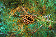 Torrey Pine cone (Pinus torreyana), Santa Rosa Island, Channel Islands National Park, California USA
