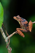 Tree Frog (Hypsiboas boans) formally Hyla boans<br /> Rain Forest<br /> Iwokrama Reserve<br /> GUYANA<br /> South America