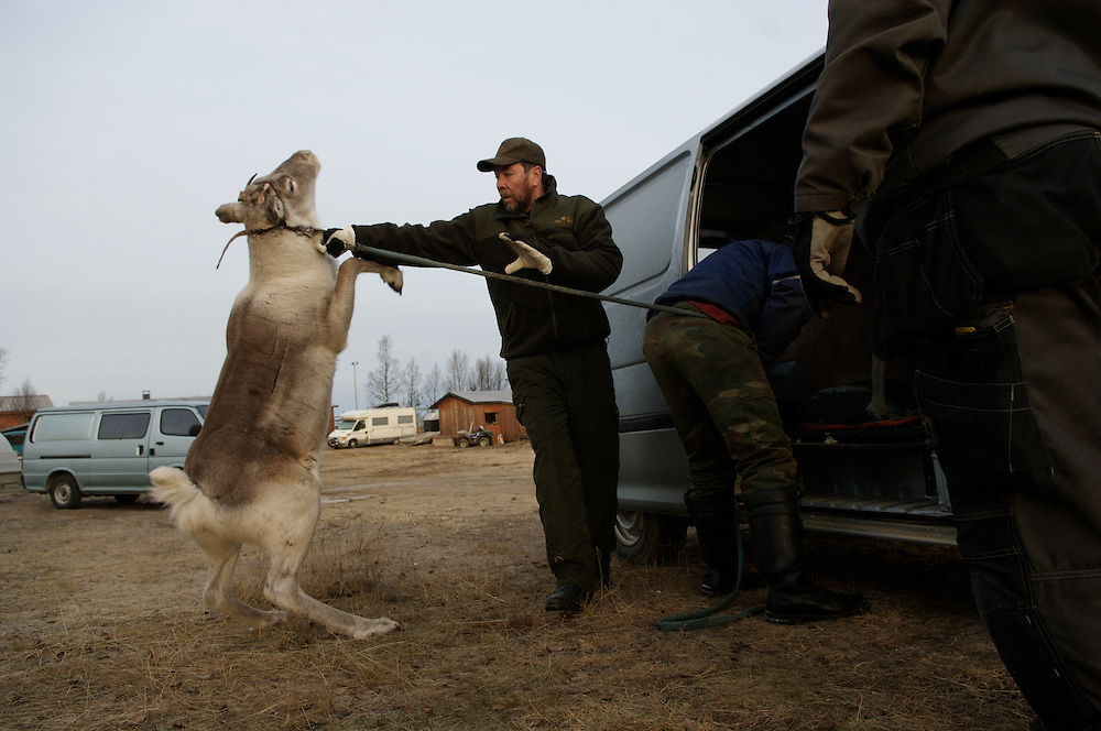 Hirvas Salmi, FINLAND. October 20, 2007-  A reindeer calf is forced into a van for transport.  It will be slaughtered for family use.