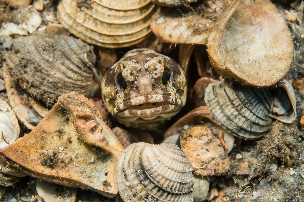 A Banded Jawfish, Opistognathus macrognathus, hides in her burrow in the bottom of the Lake Worth Lagoon near the Blue Heron Bridge in Singer Island, Florida, United States.
