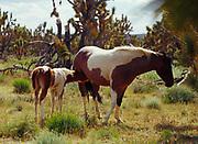 Colt with mare, domestic horses among Joshua Trees, Joshua Trees National Landmark, Grand Wash Cliffs, Arizona.