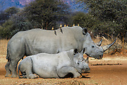 White rhinoceros (Ceratotherium simum) mother & calf<br /> Private Reserve, <br /> SOUTH AFRICA<br /> RANGE: Southern & East Africa<br /> ENDANGERED SPECIES