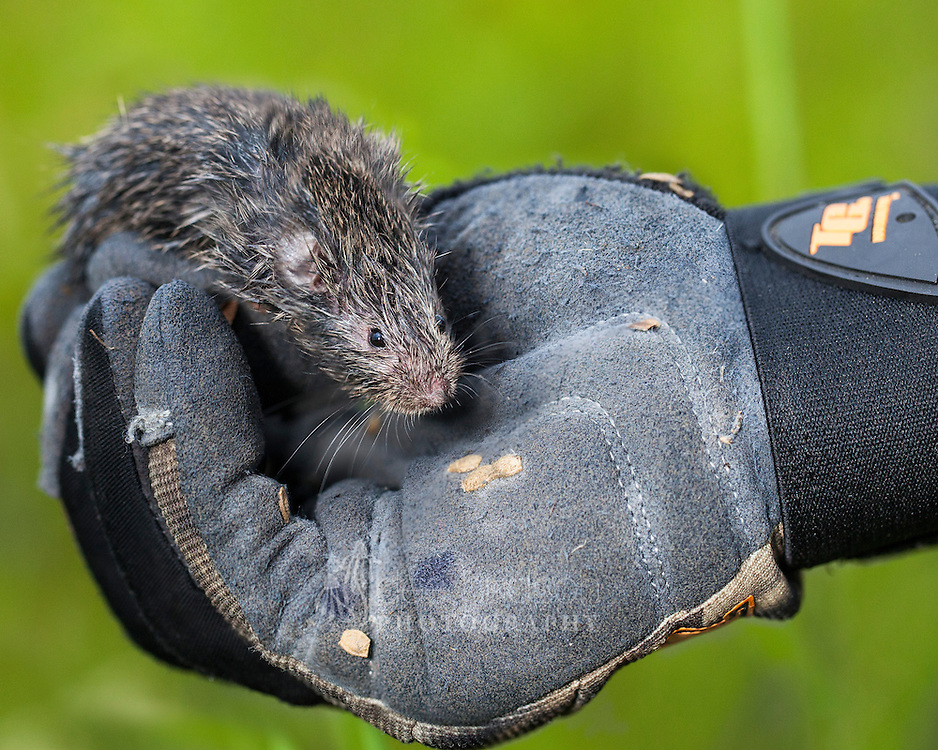A vole in the hand is worth . . . some great scientific research! Prairie vole (Microtus ochrogaster)