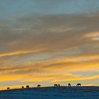 Horses graze atop a snowy ridge near Bozeman, Montana.