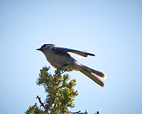 Canada Jay. Rocky Mountain National Park. Image taken with a Nikon D2xs  camera and 70-200 mm f/2.8 lens + 1.4x teleconverter.