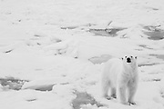 A polar bear (Ursus maritimus) walking on the ice, Spitsbergen, Northwest Coast of the Svalbard Archipelago, Norway
