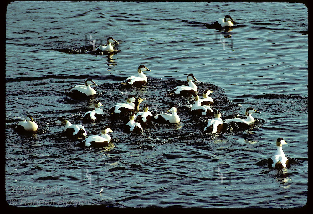 Eider duck is surrounded by entourage of jealous suitors as she swims in sea @ Vigur Island;June Iceland