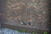 Pigeons mysteriously balance on a brick ledge just above the ground in London, England, United Kingdom.