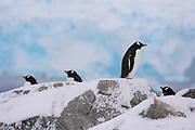 Gentoo penguins, Pygoscelis papua, standing on rocks, Petermann Island, Antarctica.