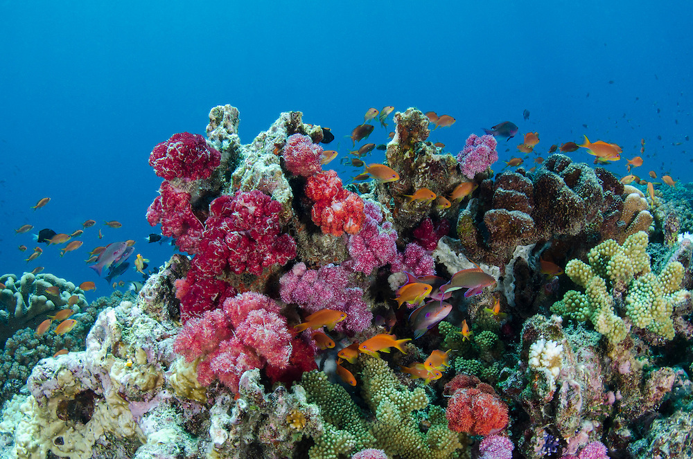 Scalefin Anthias (Pseudanthias squamipinnis) and diverse coral reef<br /> Fiji. <br /> South Pacific<br /> Females orange, males purple