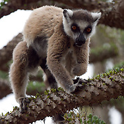 Ring-tailed lemur male that's missing half of his left front leg delicately maneuvers the sharp spines while foraging on the new leaves of Alluaudia ascendens trees in the spiny forest. Berenty Reserve, Madagascar