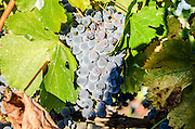 A cluster of ripe black grapes on a vine
