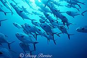 schooling permit, Trachinotus falcatus, Belize, ( Caribbean Sea )