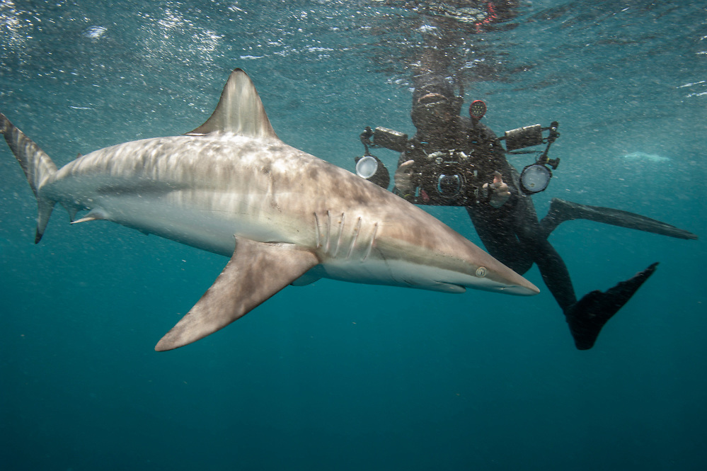 A Spinner Shark, Carcharhinus brevipinna, swims next to an underwater photographer offshore Jupiter, Florida, United States.