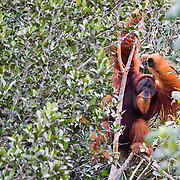 Friday, a large male orangutan is relocated to a healthy block of forest after his home forest was converted to palm oil. Photo: Paul Hilton for OIC