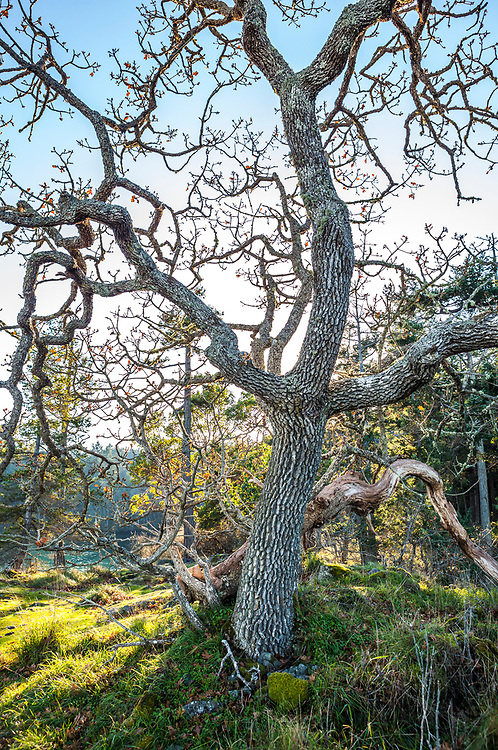 An old Oak tree on a sunny day, Ruckle Provincial Park, Salt Spring Island, British Columbia, Canada.