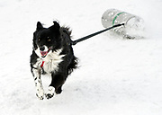 PRICE CHAMBERS / NEWS&GUIDE<br /> Border collie Rodeo dashes across the fairgrounds Saturday during the K9 Keg Pull, part of WinterFest. To the calls of owner Megan Curfman, Rodeo sprints his way into second place with a time of 21.8 seconds.