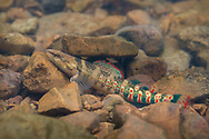 Niangua Darter<br /> <br /> Isaac Szabo/Engbretson Underwater Photography