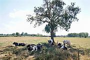 Nederland,The Netherlands, Sambeek, 31-7-2018 Koeien die buiten in de wei staan zoeken de schaduw van een boom op en krijgen extra hooi, worden bijgevoerd, omdat het gras niet meer groeit en door de droogte vergeeld en dood is . Door de aanhoudende droogte en hitte, warme weer, hittegolf, hebben mens en dier het moeilijk . Foto: Flip Franssen