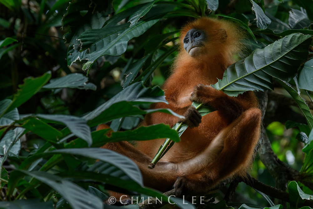 A Maroon Langur (Presbytis rubicunda) pauses for a break while munching on his chosen leaf. Endemic to Borneo and a few offshore islands, these leaf monkeys feed on a wide range of foliage and unripe fruits, traveling in groups of up to a dozen individuals. One theory regarding their distinctive bright orange coloration is that this may help to confuse some predators into mistaking them for a much larger and stronger Orangutan, and thus deter attacks. Danum Valley Conservation Area, Sabah, Malaysia (Borneo).