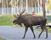 Alaska. Bull moose (Alces alces) walking along Raspberry Road grunting during fall, Anchorage.