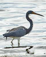Tricolored Heron (Egretta tricolor). Black Point Wildlife Drive. Merritt Island National Wildlife Refuge. Image taken with a Nikon D3 camera and 70-200 mm f/2.8 VR lens.