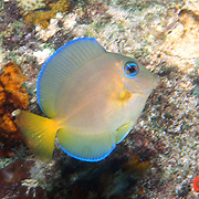 Blue Tang intermediate phase have yellow in tail; picutre taken Anguilla.