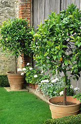 Citrus trees in containers at Rofford Manor