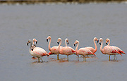 Salinas - Monday, Jan 14 2008: Ten Chilean Flamingoes (Phoenicopterus chilensis) stand in a salt lake just outside Salinas, Ecuador. (Photo by Peter Horrell / http://www.peterhorrell.com)