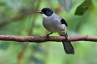 Black-headed Sibia, Heterophasia melanoleuca, bird sitting on a branch in Baihualing, Gaoligongshan, Yunnan, China