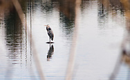 A great blue heron (Ardea herodias) stands reflected on a quiet winter afternoon at Pinto Lake in Santa Cruz County, California
