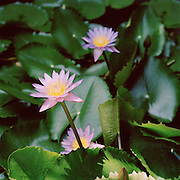 Water Lilies, Kerala, India.