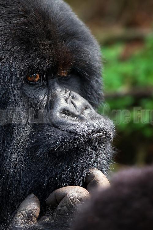 Wondering Gorilla. Rwanda-Volcano National Park   Undrende Gorilla, tatt i Volcano National Park, Rwanda