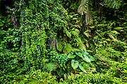 Solid wall of Bali tropical plants for a background of green.