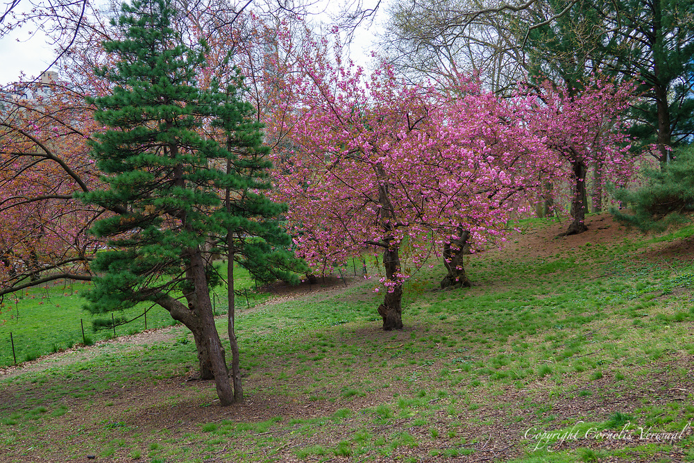 Cherry Blossoms in Central Park west of the Sailboat Pond, April 15, 2020