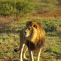 """EXCLUSIVE: A THIRD lion pride has been brutally butchered in a MONTH in South Africa by evil poachers who hacked off their heads and paws and stole them to be used to make black magic potions. Distraught owner Menno Parsons, 46, was broken the news that his male lion Tau, 10, and four lionesses had been fed chicken carcasses laced with poison causing them an agonising death. Menno - one of the top air display pilots in South Africa - owns Sunward Ranch which provided lion experiences for underprivileged children near the town of Brits in Limpopo Province. On Tuesday night a gang of poachers threw poisoned chickens over the two electrified fences and waited for the predators to eat them and suffer for up to 30 minutes until all his five lions were dead. Then they cut their way through the fences and using machetes hacked off the heads or jaws of the majestic lions to steal their teeth and hacked off 20 paws and stole them for use in """"muti"""". Traditional witch doctors or healers use the body parts to make potions known as """"muti"""" for local customers or the body parts are smuggled to the Far East and sold for vast amounts to dealers. Divorced father-of-three Menno said : """"When you get the phone call telling you that your lions have not just been killed by poachers but have been butchered I tell you nothing prepares you. """"I fly helicopters on anti-poaching patrols and go after poachers who are on the run to help out the police and security agencies but you never actually expect it is going to happen to you. """"I have looked after lions for 10 years and they are like a family to me. I am not afraid of these poachers and I have got guys with me and we will be going out there looking for them"""" he said. Along with head of the pride Tau, 10, his four lionesses were killed sisters Tana and Jade, both 5, and Zuri and Nala, both 3. The animal park owner also flies a World War 2 P51 mustang and a Douglas DC3 airline and two Huey helicopters and is one of the most popular"""