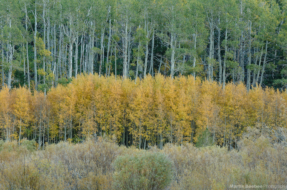 Quaking Aspen (Populus tremuloides) forest, fall, Toiyabe National Forest, California