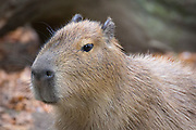 Capybara, Hydrochoerus hydrochaeris in the Cotswold Wildlife Park, Oxfordshire, UK