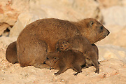 Israel, Judean Desert, Rock Hyrax, (Procavia capensis)