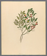 Celastrus [Apodytes dimidiata] (1817) from a collection of ' Drawings of plants collected at Cape Town ' by Clemenz Heinrich, Wehdemann, 1762-1835 Collected and drawn in the Cape Colony, South Africa