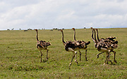 Close up full body view of a flock of ostriches (Struthio camelus). Photographed in the Serengeti National Park, Tanzania in April.
