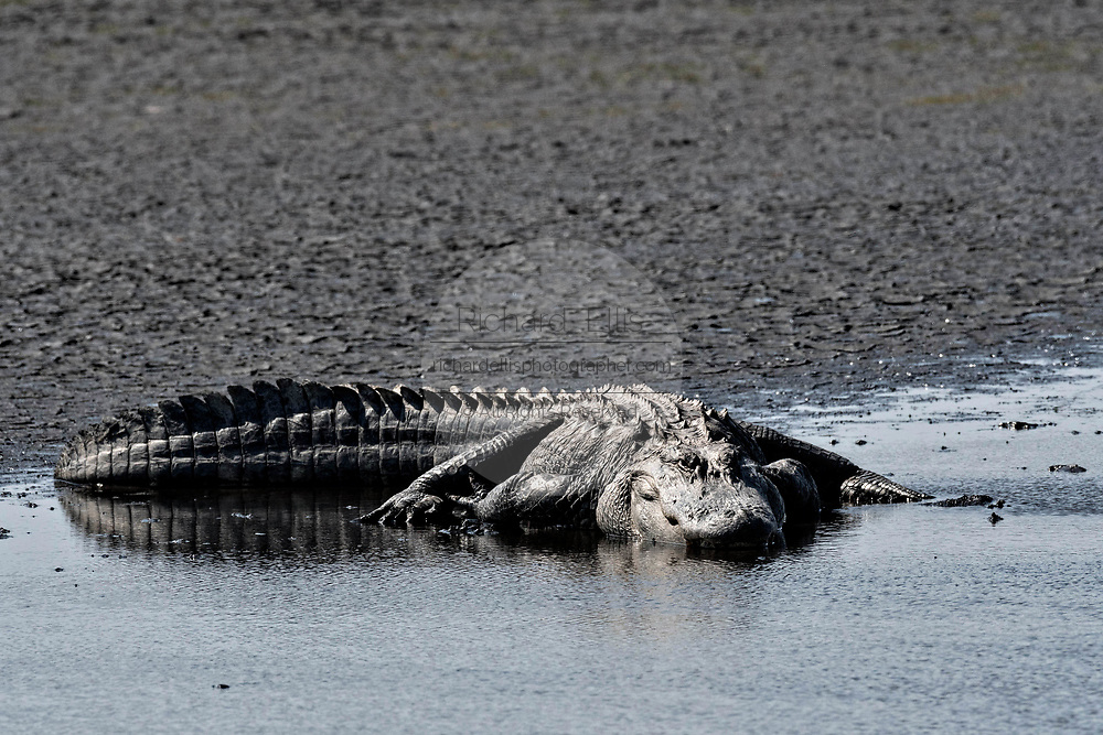 A very large American alligator rests in shallow water at the Donnelley Wildlife Management Area March 11, 2017 in Green Pond, South Carolina. The preserve is part of the larger ACE Basin nature refugee, one of the largest undeveloped estuaries along the Atlantic Coast of the United States.
