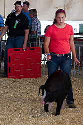 01 August 2014:   McLean County Fair.  Contestants participate in swine showing. This image available for EDITORIAL USE ONLY. A release may be required. Additional information by contacting alook at alanlook.com