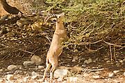 Nubian Ibex (Capra ibex nubiana), eats from an acacia Judaean Desert, Israel