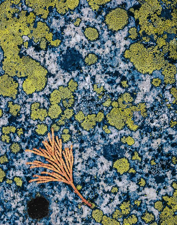 Cedar bough and granite with lichens, Yosemite Valley, Yosemite National Park, California, USA
